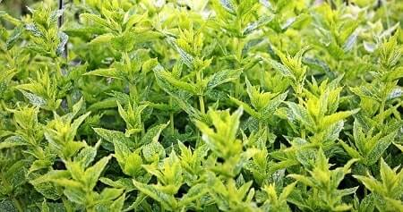 Health Benefits of Mint for Chickens