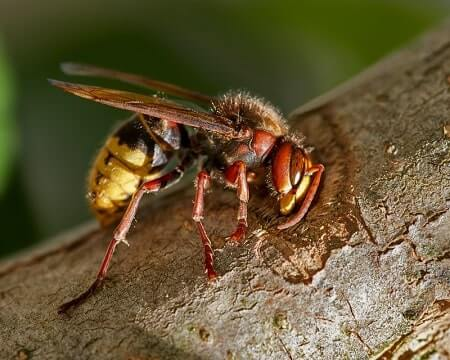 Is It Ok for Chickens To Eat Wasps
