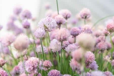 Is It Safe for Chickens to Eat Chives, the Flowers, and Blossoms
