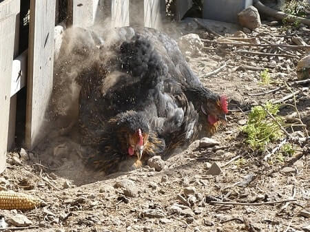 They Are Making a Dust Bath