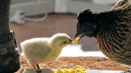 chicken feeding a chick some corn