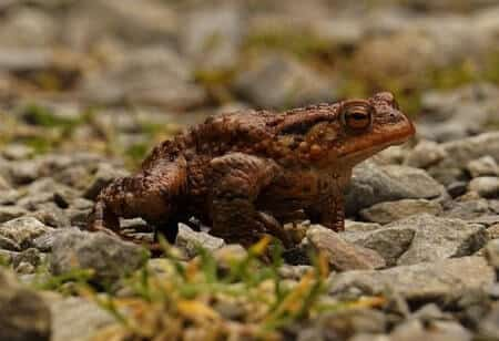Are Toads Poisonous To Chickens