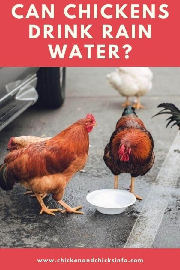 Can Chickens Drink Rain Water