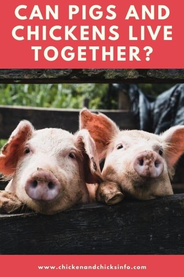 Can Pigs and Chickens Live Together