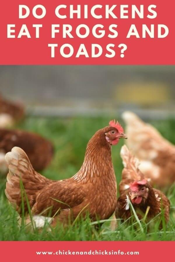 Do Chickens Eat Frogs and Toads