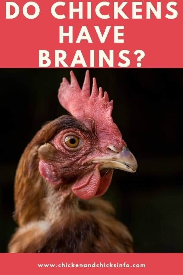 Do Chickens Have Brains