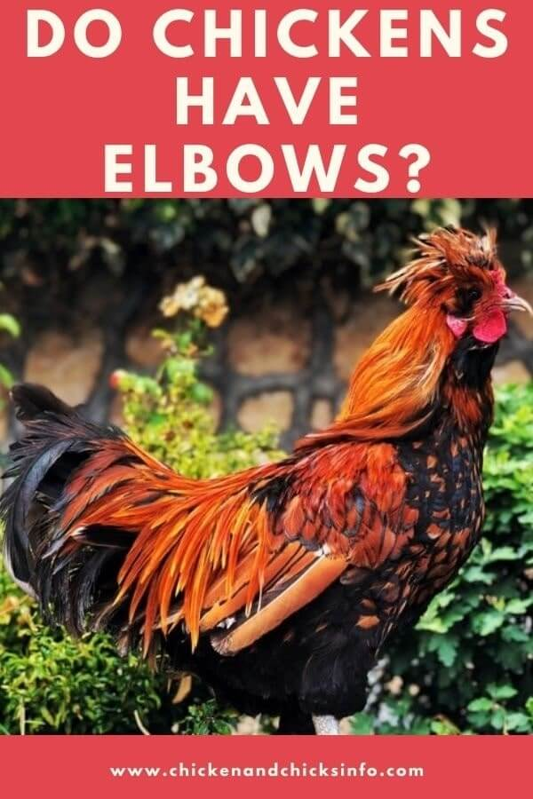Do Chickens Have Elbows