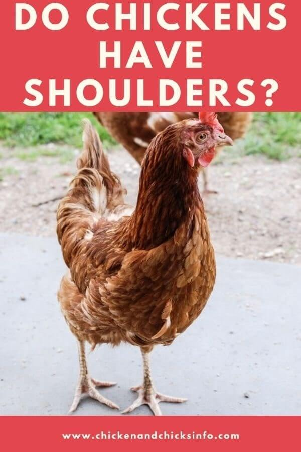 Do Chickens Have Shoulders