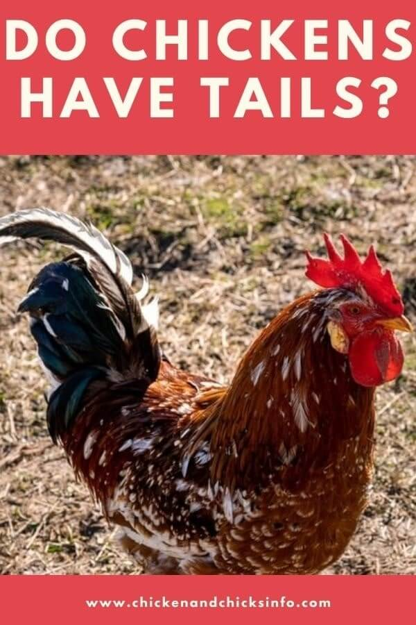 Do Chickens Have Tails