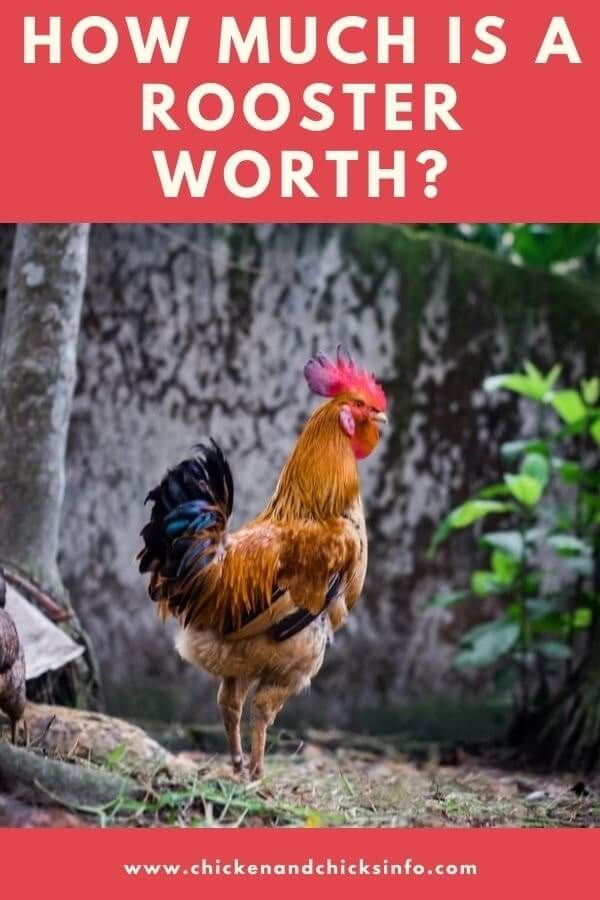How Much Is a Rooster Worth