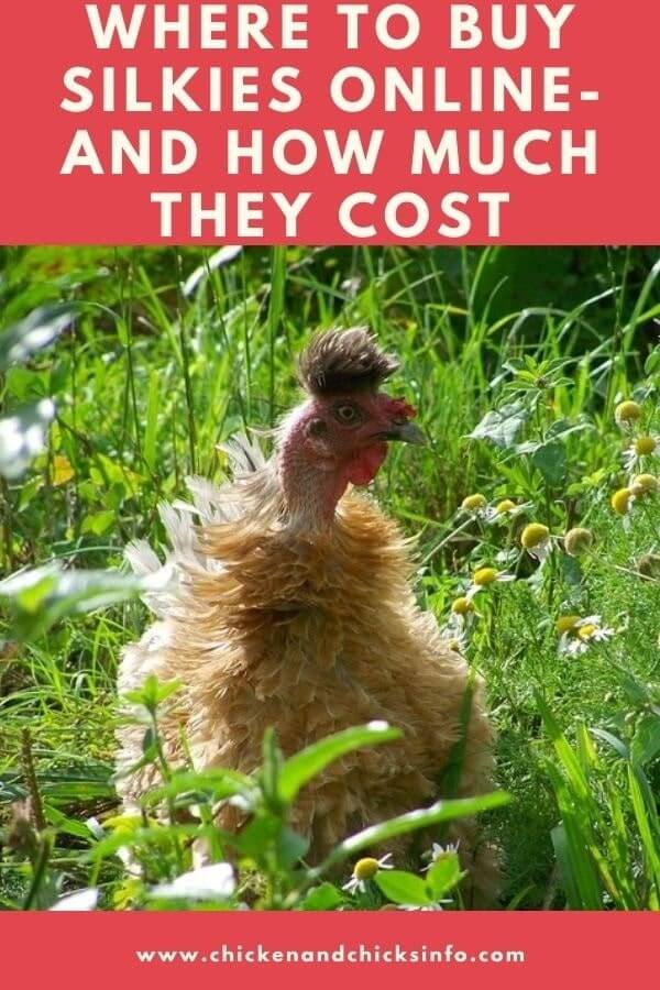 Where To Buy Silkies Online and How Much They Cost