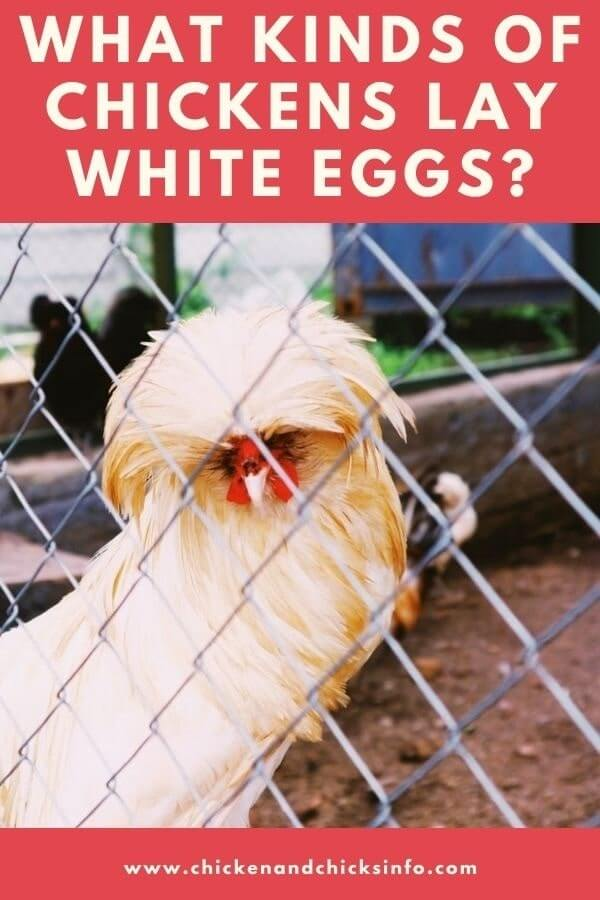 What Kinds of Chickens Lay White Eggs