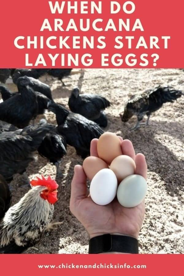When Do Araucana Chickens Start Laying Eggs