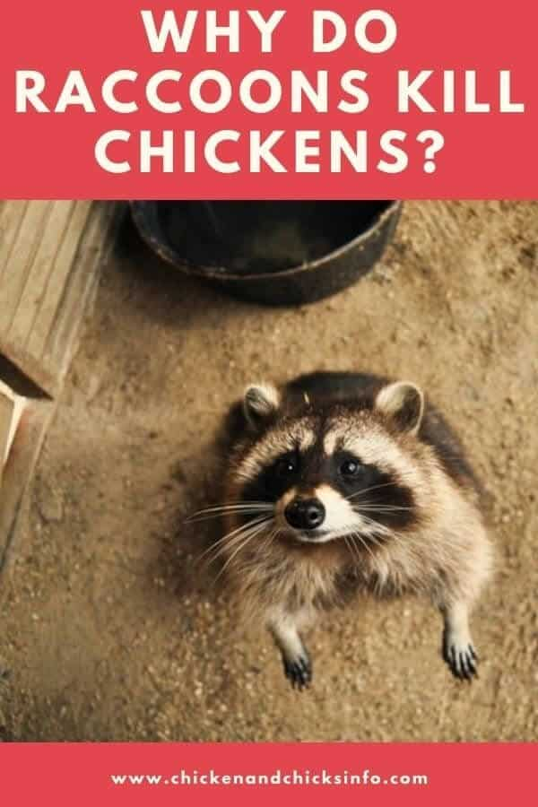 Why Do Raccoons Kill Chickens