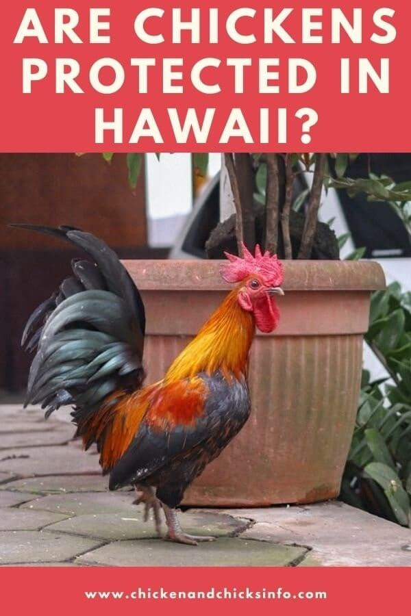 Are Chickens Protected in Hawaii