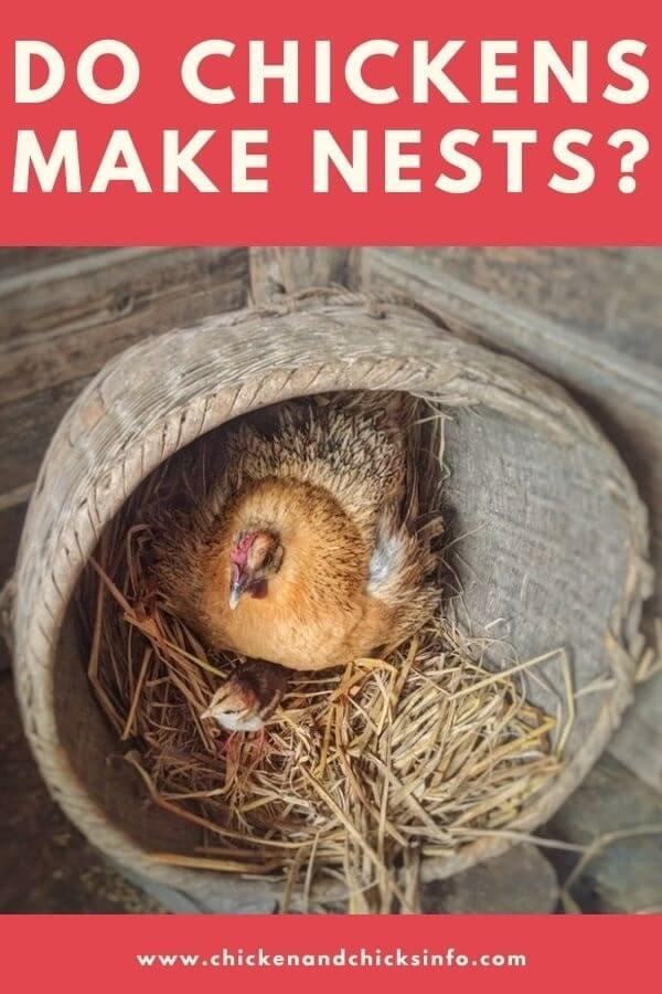 Do Chickens Make Nests