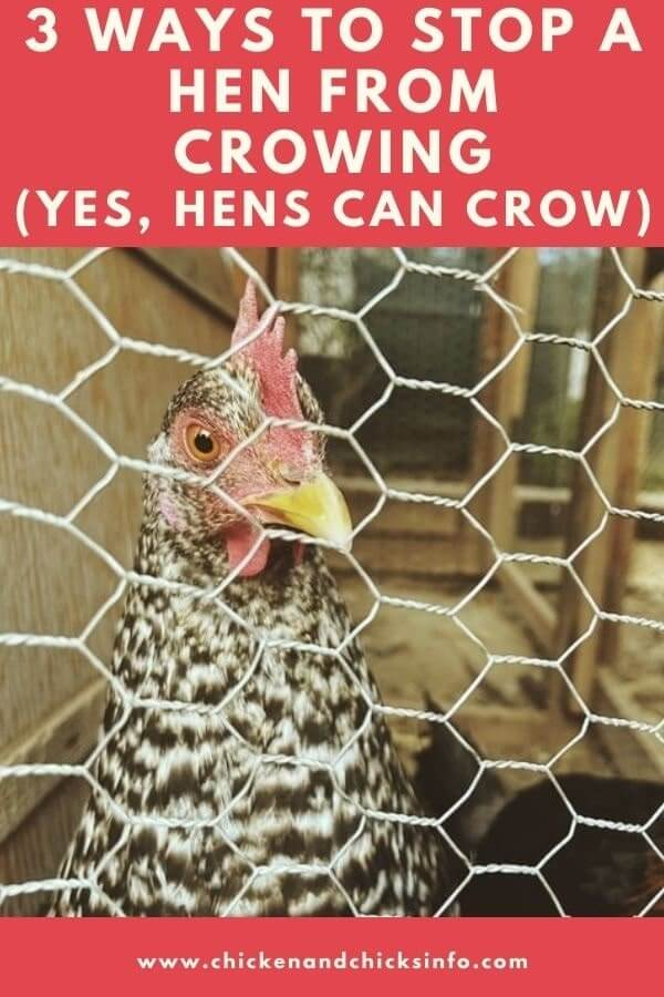 How to Stop a Hen From Crowing