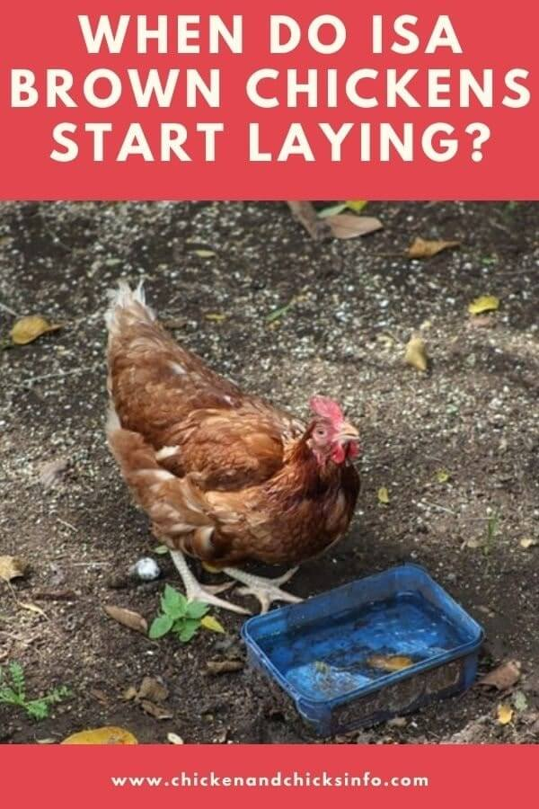 When Do ISA Brown Chickens Start Laying