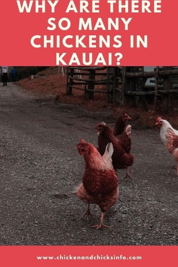 Why Are There So Many Chickens in Kauai