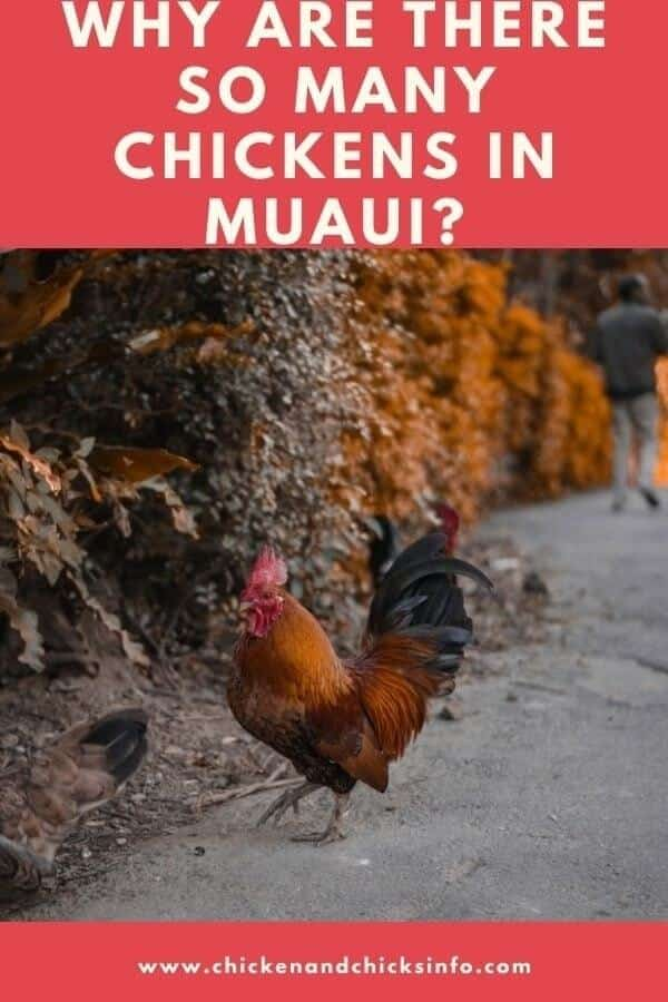 Why Are There So Many Chickens in Maui