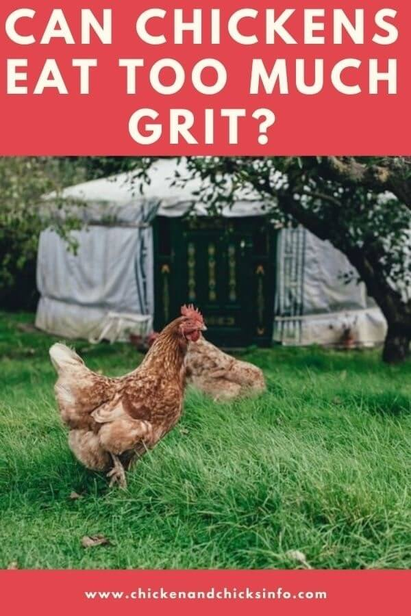 Can Chickens Eat Too Much Grit
