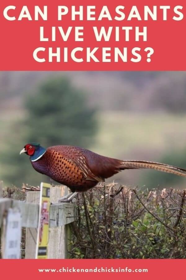 Can Pheasants Live With Chickens