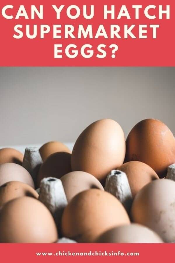Can You Hatch Supermarket Eggs