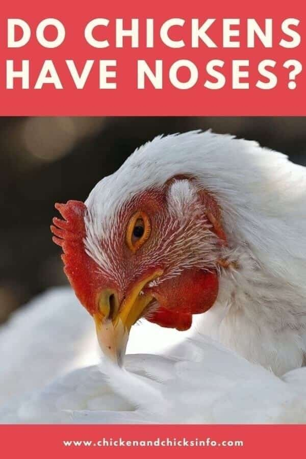 Do Chickens Have Noses