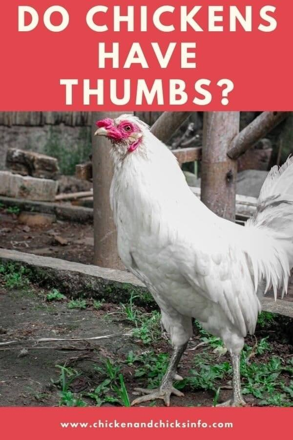 Do Chickens Have Thumbs