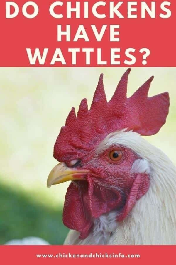 Do Chickens Have Wattles