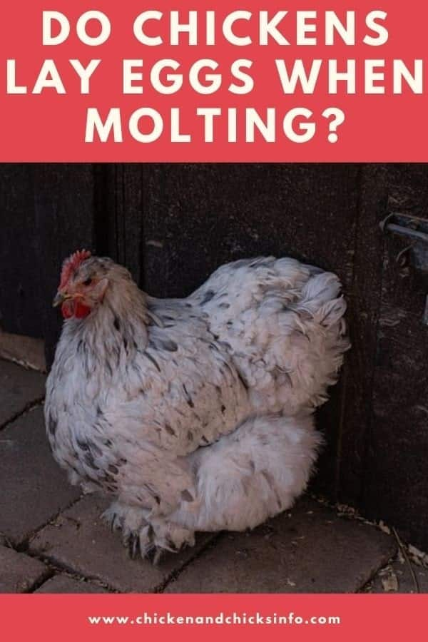 Do Chickens Lay Eggs When Molting