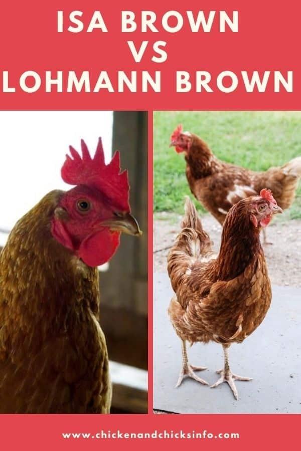 ISA Brown vs Lohmann Brown