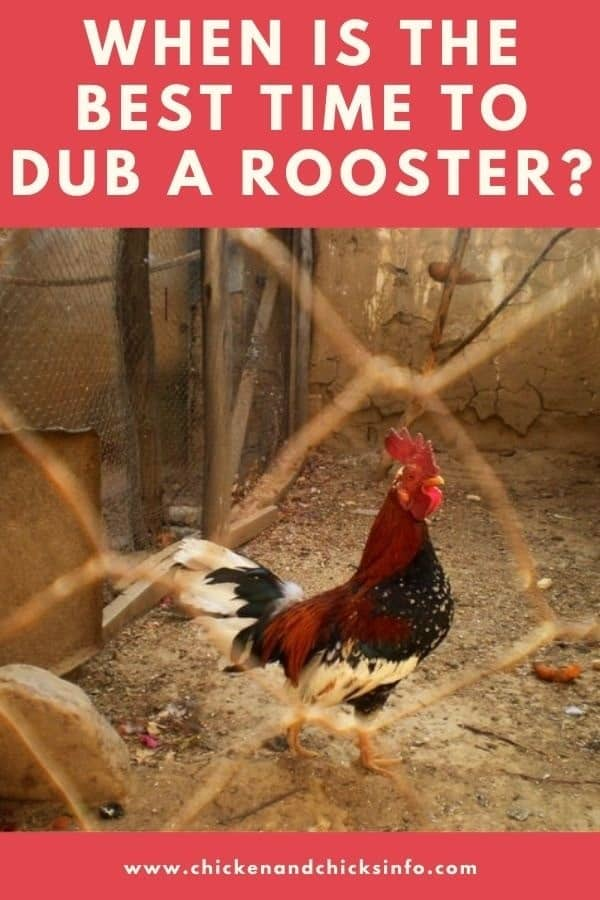 When Is the Best Time to Dub a Rooster