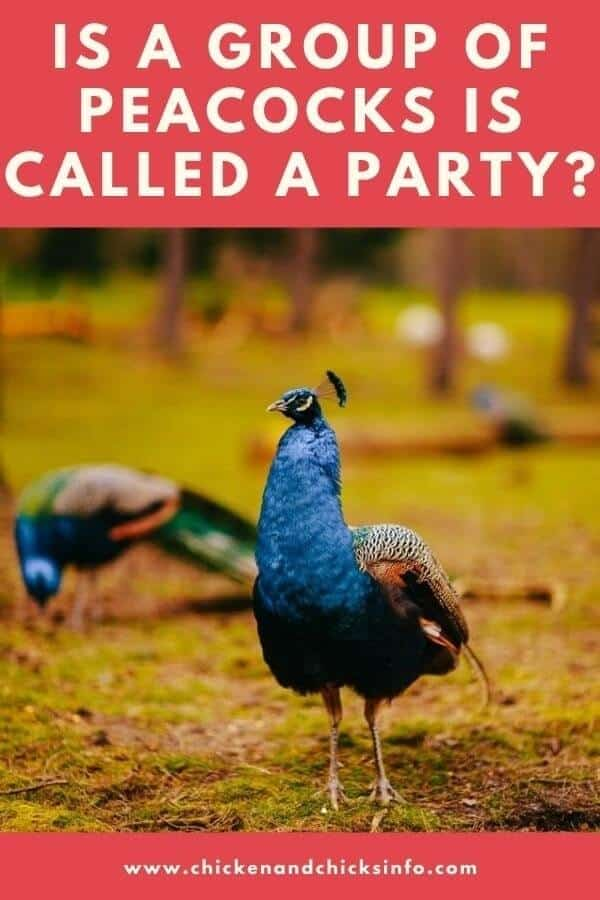A Group Of Peacocks Is Called a Party