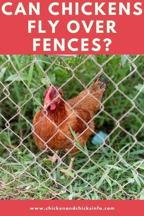 Can Chickens Fly Over Fences