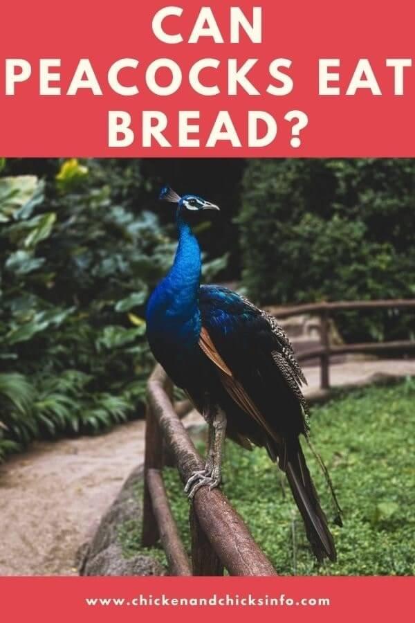 Can Peacocks Eat Bread