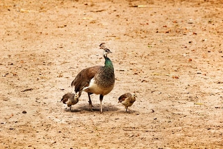 Difference Between Peacocks and Peahens