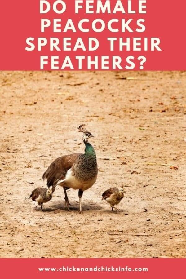 Do Female Peacocks Spread Their Feathers