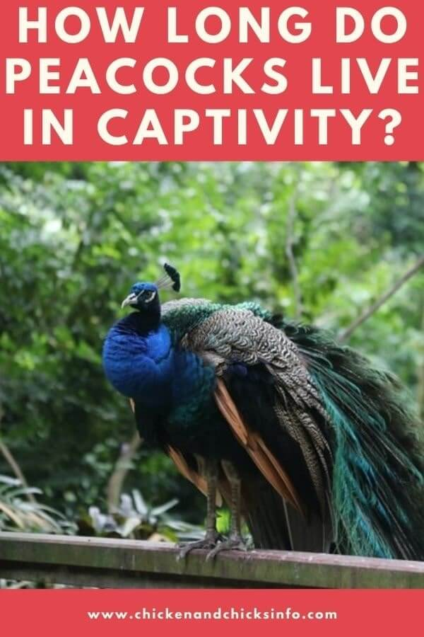 How Long Do Peacocks Live In Captivity
