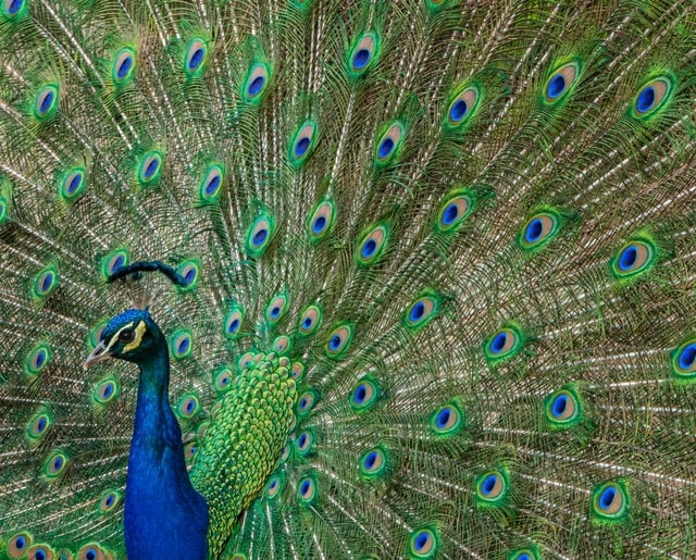 Picture of a male peacock
