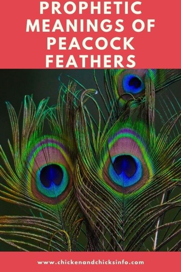 Prophetic Meaning Of Peacock Feathers