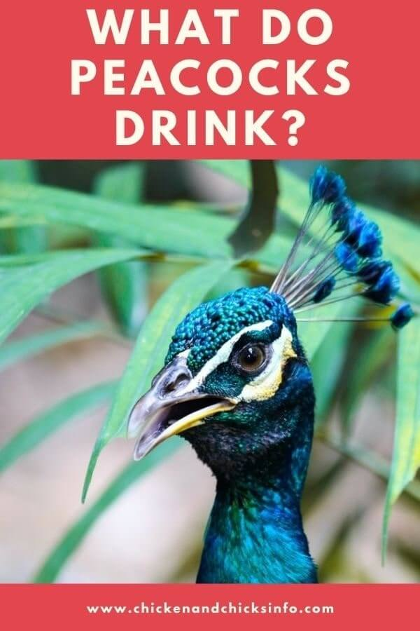 What Do Peacocks Drink