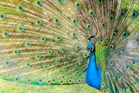 What Does the Peacock Represent In Buddhism
