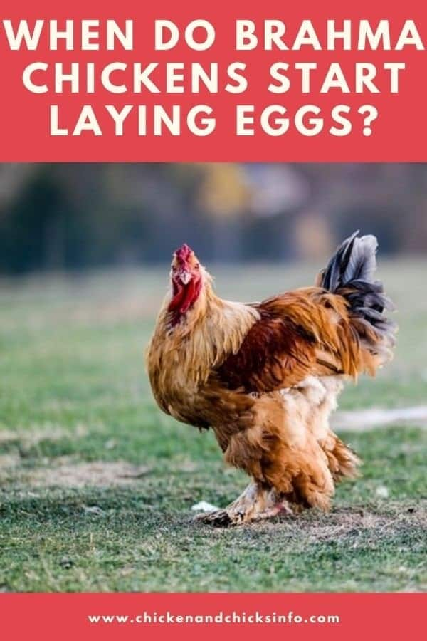 When Do Brahma Chickens Start Laying Eggs