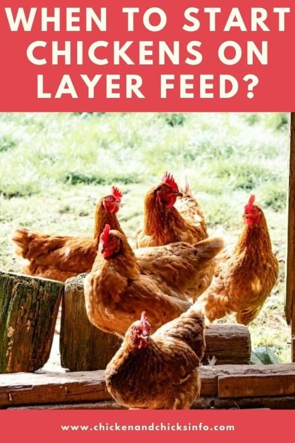 When to Start Chickens on Layer Feed