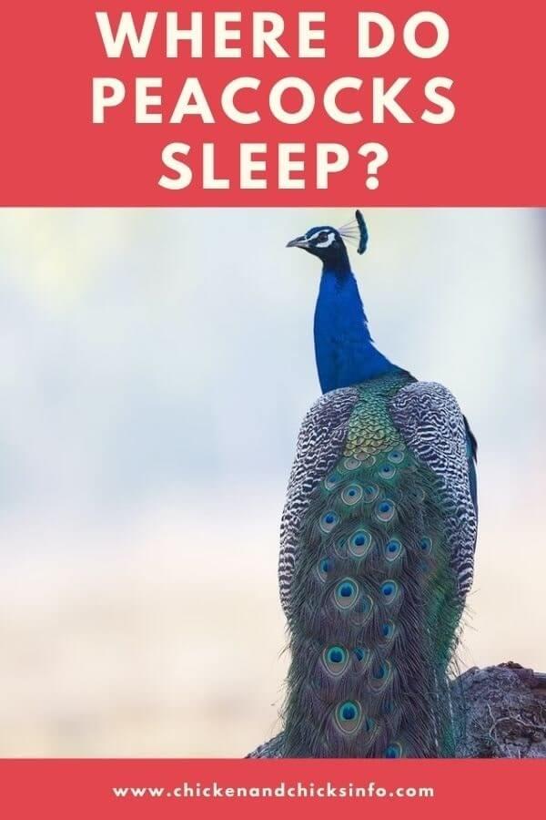 Where Do Peacocks Sleep