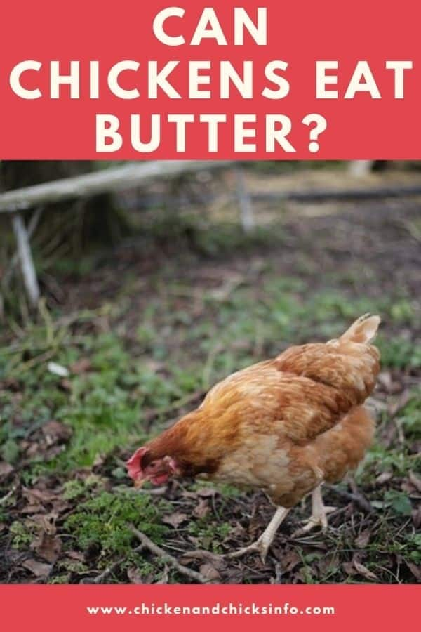 Can Chickens Eat Butter