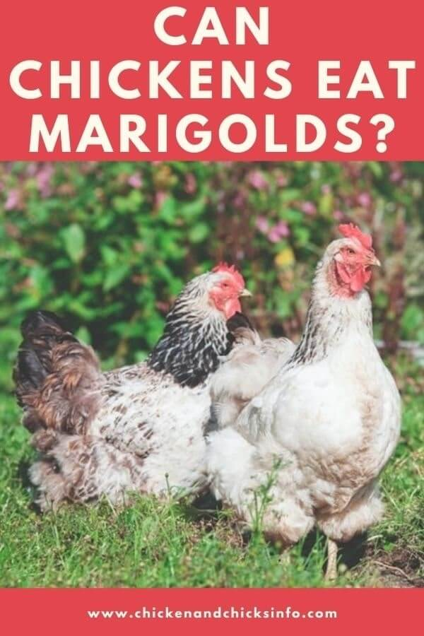 Can Chickens Eat Marigolds