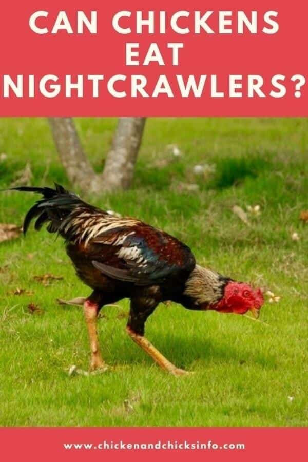 Can Chickens Eat Nightcrawlers