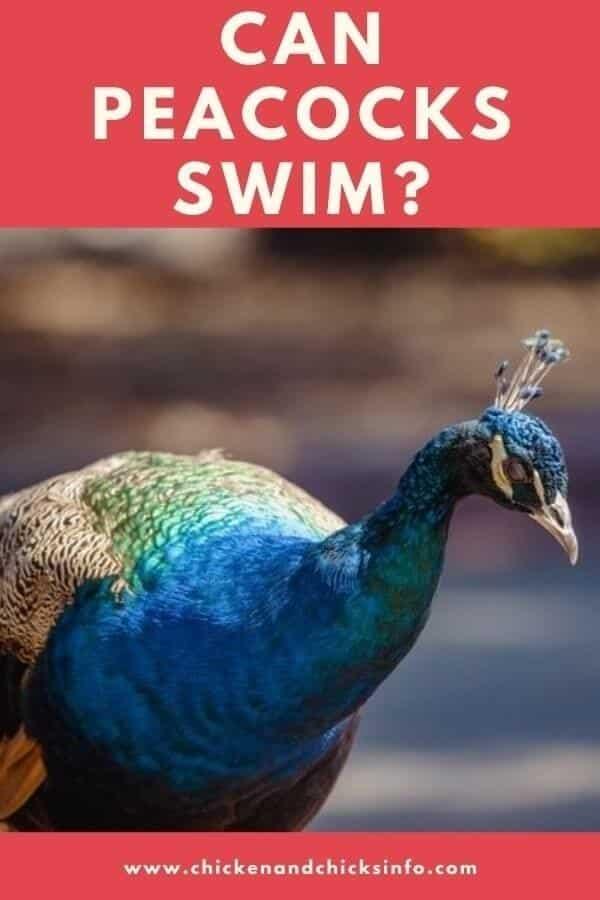 Can Peacocks Swim